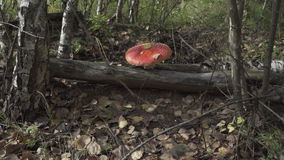 Agaric growing in the forest.  stock footage
