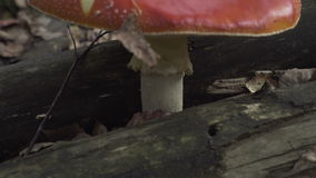 Agaric growing in the forest.  stock video footage