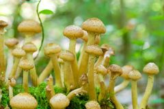 Agaric honey fungus Stock Images