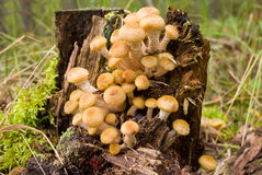 Agaric honey fungus near stump Royalty Free Stock Photo
