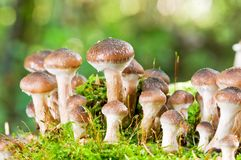 Agaric honey mushrooms in forest Royalty Free Stock Images
