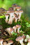 Agaric honey mushrooms in forest Stock Photography