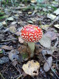 Agaric, mushroom, autumn, forest. Little agaric in autumn forest Stock Photography
