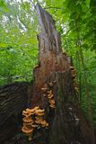 Agaric mushrooms Stock Image