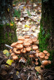 Agaric mushrooms Stock Photography