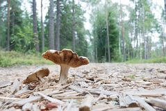 Agaric mushrooms in natural enviroment Stock Photography