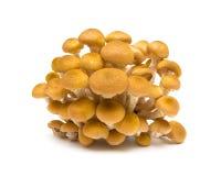 Agaric plocka svamp closeupen på vit bakgrund Royaltyfria Bilder