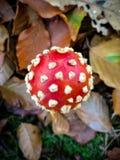 Agaric repéré de champignon/mouche photographie stock libre de droits