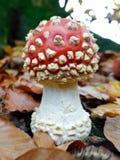 Agaric repéré de champignon/mouche photos libres de droits