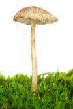 Agaric toxique (cinerella de Mycena) Image stock
