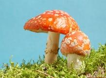 agaricfluga Fotografering för Bildbyråer