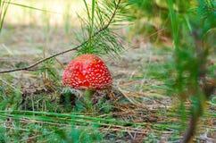 Agaricis vermelhos da mosca bonitos na floresta Imagem de Stock