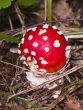 Agarico di mosca, fungo tossico di muscaria dell'amanita con lo spiritello malevolo nella macro della foresta, fuoco selettivo, D Fotografia Stock
