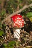 Agarico di mosca rosso in foresta Fotografia Stock