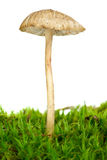Agarico tossico (cinerella di Mycena) Immagine Stock