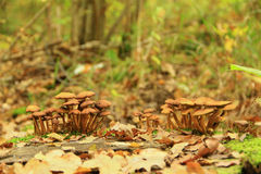 Agarics de miel Photographie stock