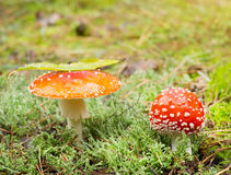 Agarics de mouche Images stock