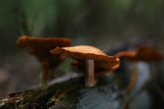 Agarics falsos do mel dos cogumelos venenosos fotografia de stock