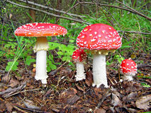 Agarics rouges Photos stock