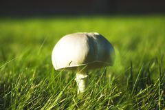 Agaricus arvensis, Agaricaceae, growing in a grass meadow. Closeup stock photography