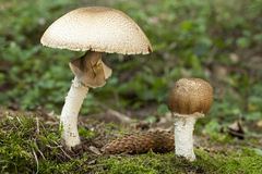 Agaricus augustus. Big and little champignon Agaricus augustus in forest Royalty Free Stock Image