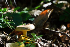 Agaricus involutus mushroom. In the forest Stock Photography
