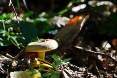 Agaricus involutus mushroom Stock Photography