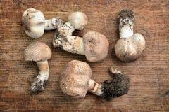 Agaricus porphyrocephalus mushroom Stock Photo