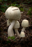 Agaricus silvicola (1) Royalty Free Stock Photos