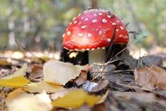 Agaricus vermelho da mosca do amanita do cogumelo na floresta do outono foto de stock royalty free