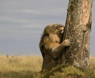 Agarramento do leão Imagens de Stock Royalty Free