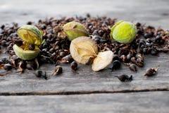 Agarwood新鲜的种子 免版税图库摄影