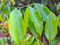 Agarwood (Aquilaria malaccensis) 库存照片