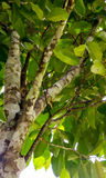 Agarwood drzewo w lesie Obraz Stock