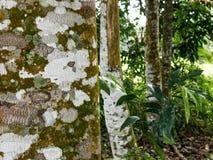 Agarwood drzewo w lesie Zdjęcia Royalty Free