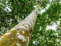 Agarwood drzewo w lesie Zdjęcia Stock