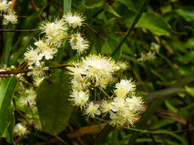 Agarwood kwitnie w lesie Obrazy Royalty Free