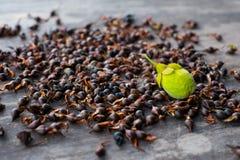 Agarwood nytt frö Royaltyfria Bilder