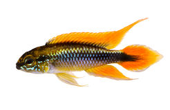 Agassiz`s dwarf cichlid Apistogramma Agassizii aquarium fish Royalty Free Stock Image