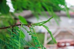 Agasta är en populär ört, som kan ätas av båda unga fröskidor, barn lämnar och blommar Arkivfoto