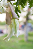 Agasta auf Baum Stockbild