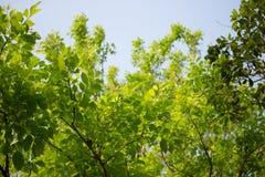 Agasta Dolichandrone rpathacea Schum drzewo Zdjęcie Royalty Free