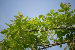 Agasta Dolichandrone rpathacea Schum drzewo Zdjęcie Stock