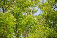 Agasta Dolichandrone rpathacea Schum drzewo Fotografia Stock