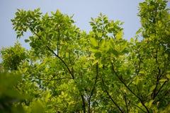 Agasta Dolichandrone rpathacea Schum drzewo Zdjęcia Stock