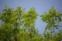 Agasta Dolichandrone rpathacea Schum drzewo Obraz Stock