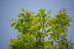 Agasta Dolichandrone rpathacea Schum drzewo Fotografia Royalty Free