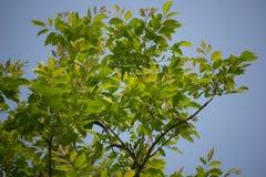 Agasta Dolichandrone rpathacea Schum drzewo Obrazy Royalty Free