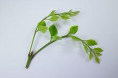 Agasta Dolichandrone rpathacea Schum drzewo odizolowywający Zdjęcie Stock