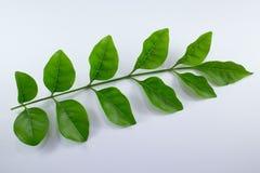 Agasta Dolichandrone rpathacea Schum drzewo odizolowywający Obraz Stock